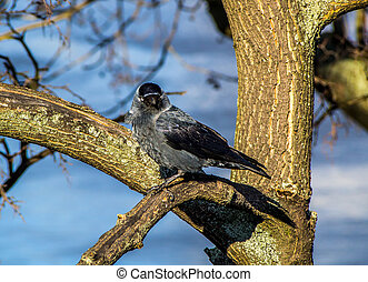 Western Jackdaw sitting on the branches of a tree in the...