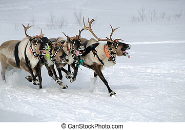 Reindeer race on a snow field