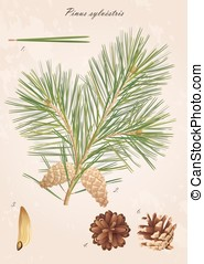 Pine branch with cones, needles and seeds, vector