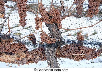 Icewine Grapes in the Vineyard with Snow in the background.