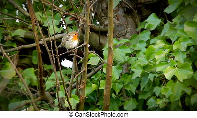 European robin red brest wiping beak on branche of tree -...