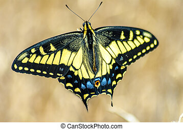 Beautiful Swallowtail - Old world swallowtail (Papilio...