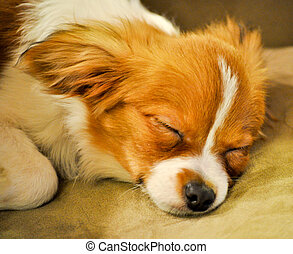 Sleeping Papillon