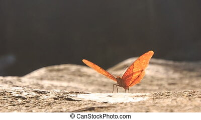 Orange Butterfly Flaps Wings on Stony Surface - closeup...