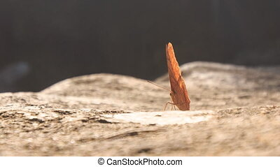 Orange Butterfly Comes Flying Sits on Stone Flaps Wings -...