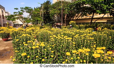 Yellow Chrysanthemums Plantation in City in Vietnam - NHA...