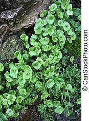 Rocks, Miner\'s Lettuce, Moss - Wet rocks, Miner\'s Lettuce...