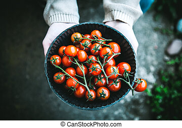 Fresh tomatoes - Tomato harvest Farmers hands with freshly...