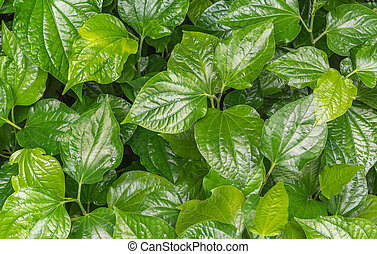 Appropriate eating betel leaf as medicine to anti cancer,...