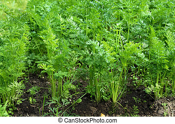 Green leaves of growing carrot - young green leaves of...