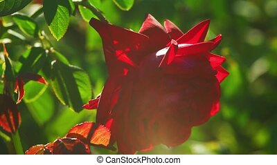 Red rose in the garden backlit. Gardening.