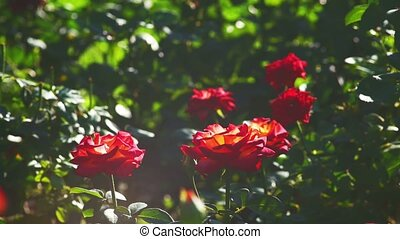 Many roses in sunset garden full of sun light - Many roses...