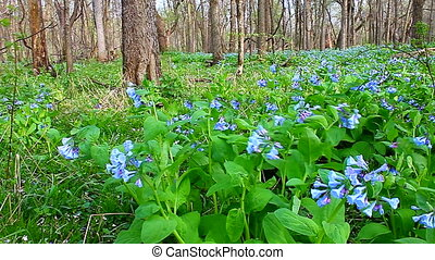 Virginia Bluebells Forest Landscape - Virginia Bluebells...