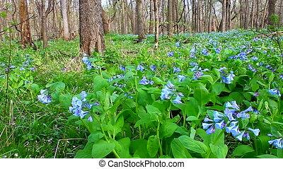 Virginia Bluebells Forest Landscape