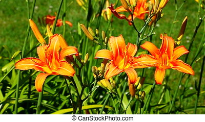 Orange Daylily Garden Flower - Orange Daylilies Hemerocallis...