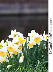 white and yellow daffodils on the waterside - A grouo of...