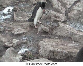 Rockhopper Penguin in the Falkland Islands