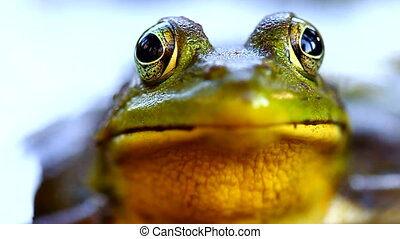 Green Frog Illinois Wildlife - Close up view of a Green Frog...