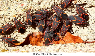 Boxelder Bugs Boisea trivittata on a concrete structure in...