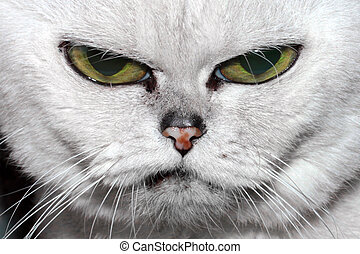 fluffy purebred cat - Portrait of a lovely gray fluffy...