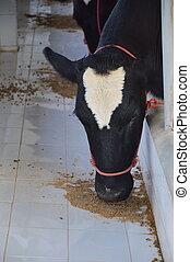 milk cow feeding in farm