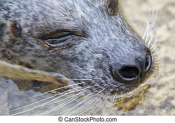 Phoca vitulina, European common seal in the water - Phoca...