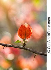 Bougainvillea flower. - Bougainvillea flower in the garden.