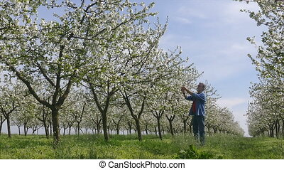 Farmer in blooming cherry orchard