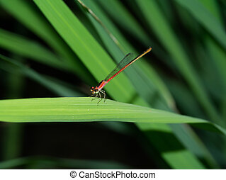Dragonfly - Calicnemia erythromelas - Dragonfly - Calicnemia...