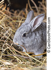 Grey rabbit on dry grass (straw)