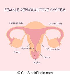female reproductive system - Uterus and ovaries, organs of...