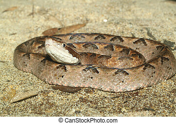 Scaleless Corn Snake in thailand