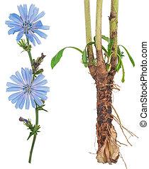 achicoria,  medicinal,  plant: