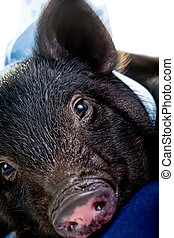 Tired Pig lying down - A tired pot bellied pig lying on a...