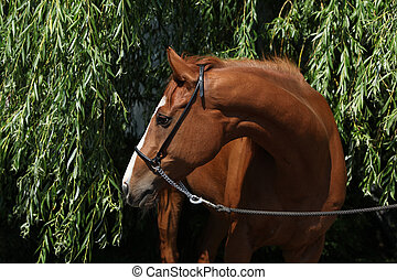 Amazing chestnut Thoroughbred with halter in nature