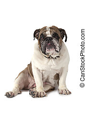 Portrait of English Bulldog isolated on white - English...
