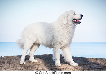 Polish Tatra Sheepdog. Role model in its breed. Also known as Podhalan