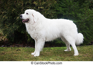 Polish Tatra Sheepdog. Role model in its breed. Also known...