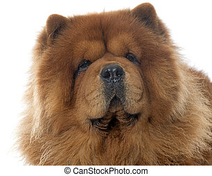 chow chow dog - brown chow dog in front of white background