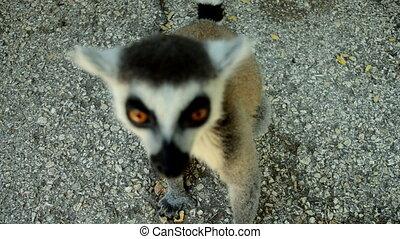 Lemur catta (ring tailed lemur)