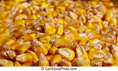 Corn seed harvest, successful agricultural practice concept,...