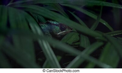 Chameleon hidden in thick greenery close-up