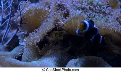 Clown Fish Coral Reef - Clown fish swims near the Sea...