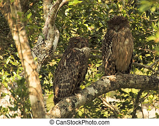 two juvenile brown fish owls bubo zeylonensis zeylonensis in...