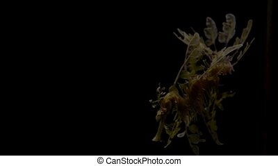 The leafy seadragon, Phycodurus eques against black...