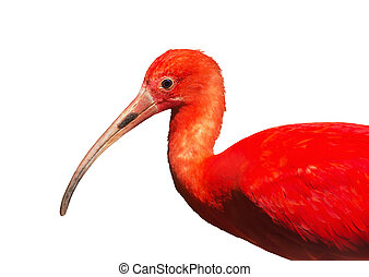 Scarlet ibis Eudocimus ruber, white background - Scarlet...