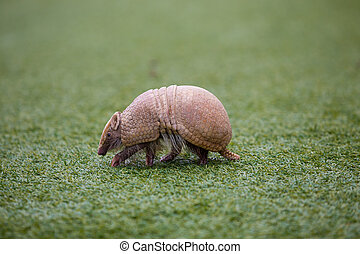 Armadillo on Turf Grass - Armadillo on turf grass waling...