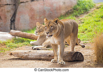 Female Lioness Relaxing - Female lioness relaxing with no...