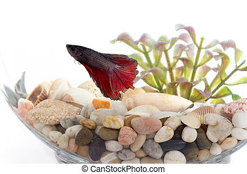 Siamese fighting fish in fish bowl  over white background
