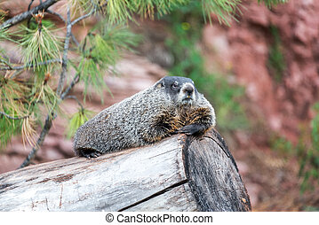 Groundhog on a Log - View of a groundhog relaxing on a log